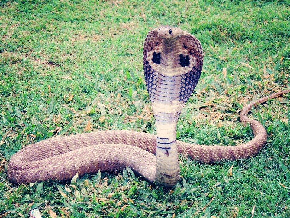 キングコブラの毒